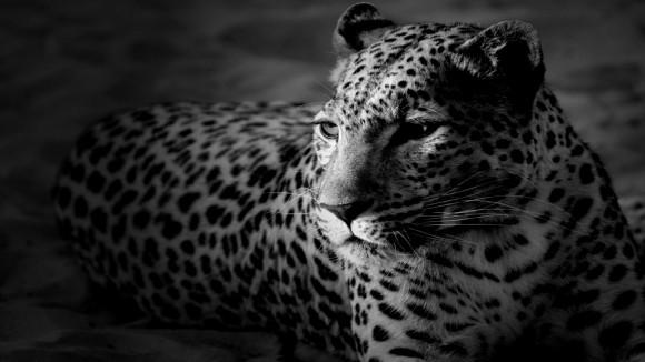 tigre fond d ecran