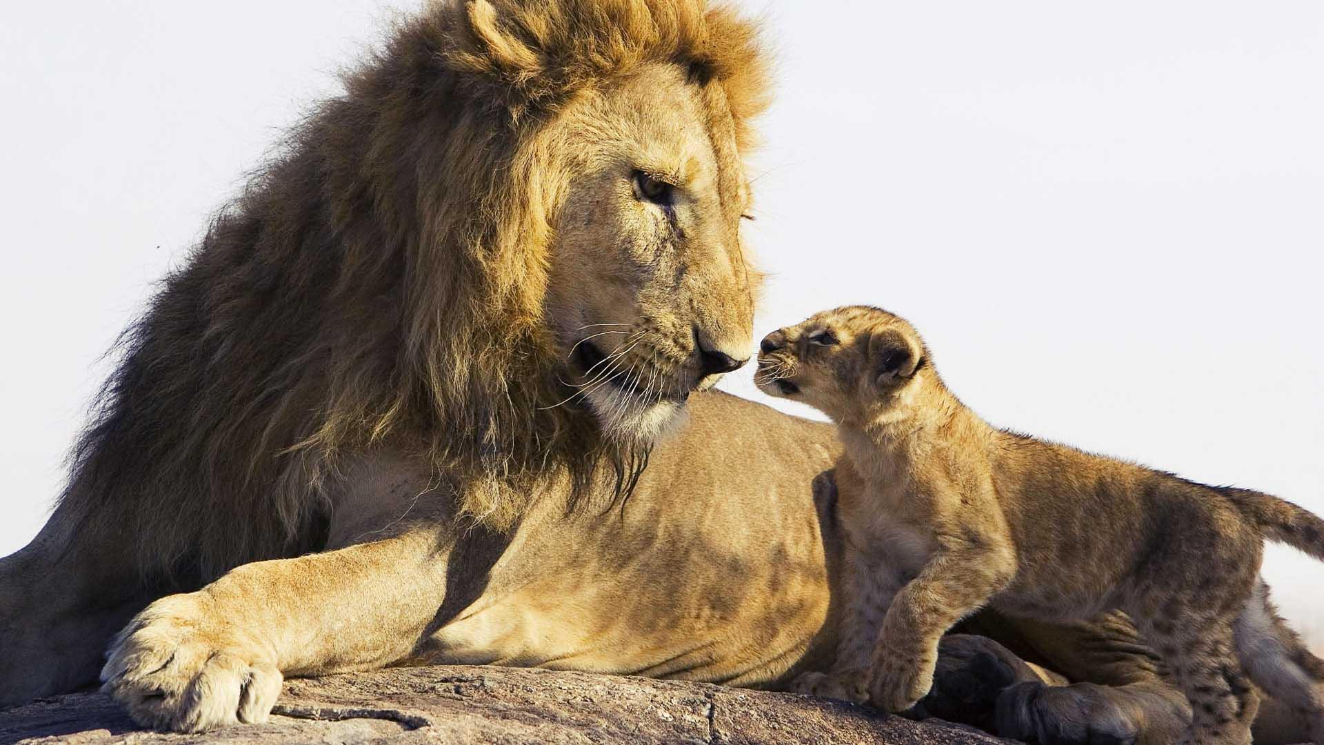 lion et cub fonds d'ècran